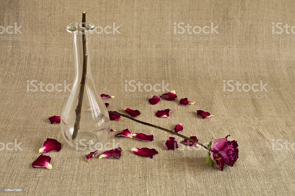 Broken rose with dropped petals stock photo
