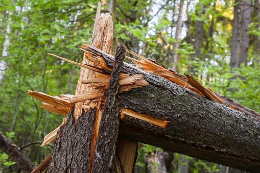 Broken spruce tree trunk, close up