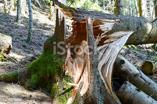 Broken, uprooted, fallen tree from storm damage and high winds.