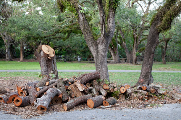 Broken tree after the hurricane in the park. Big tree is sawn for firewood. stock photo