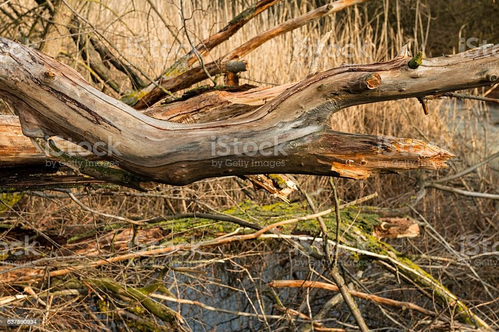 Broken tree and dry branches in the winter forest. stock photo