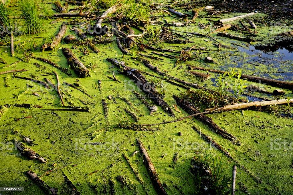 Galhos quebrados, flutuando na superfície da água verde - Foto de stock de Cobrindo royalty-free