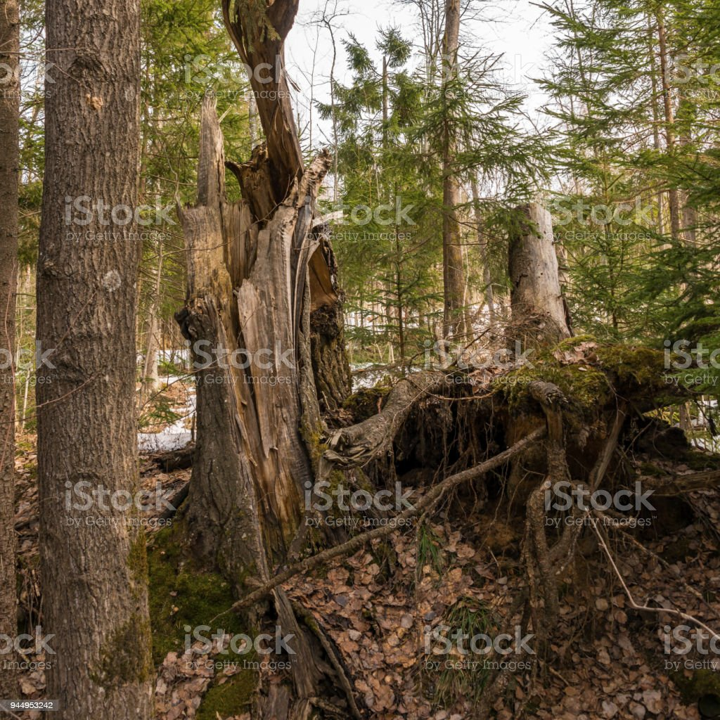 Broken tree in the forest in spring stock photo