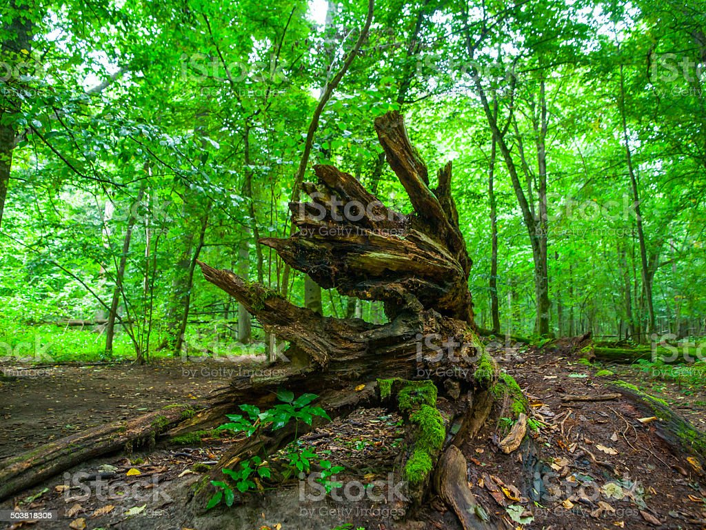 Broken tree roots in Bialowieza primeval forest stock photo