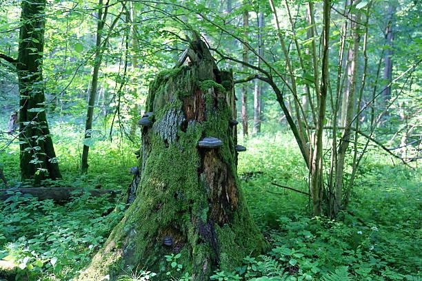 broken tree stump with fungus in bialowieza national park - pilze bestimmen stock-fotos und bilder