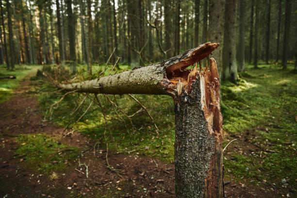 Broken tree trunk in pine forest Broken tree trunk in autumn pine forest fallen tree stock pictures, royalty-free photos & images