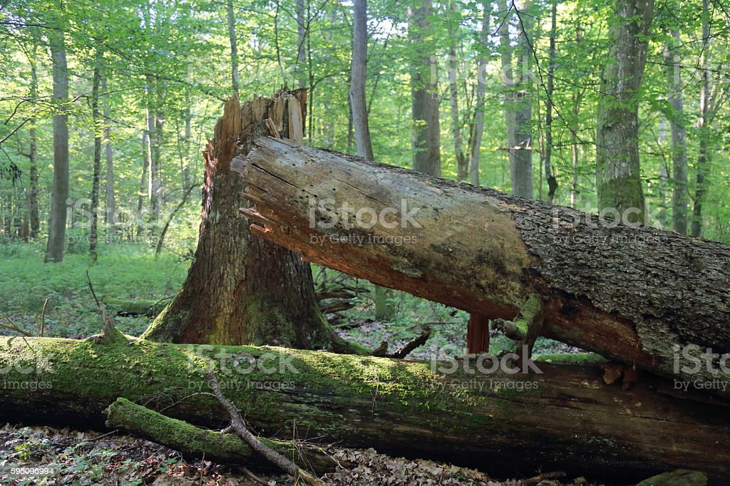 Broken trees in Bialowieza National Park Lizenzfreies stock-foto