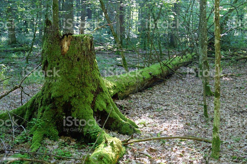 Broken trees in Bialowieza National Park stock photo