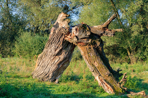 Broken trunk of a large dry tree on the background of green bushes and trees in sunny autumn morning. Nature landscape