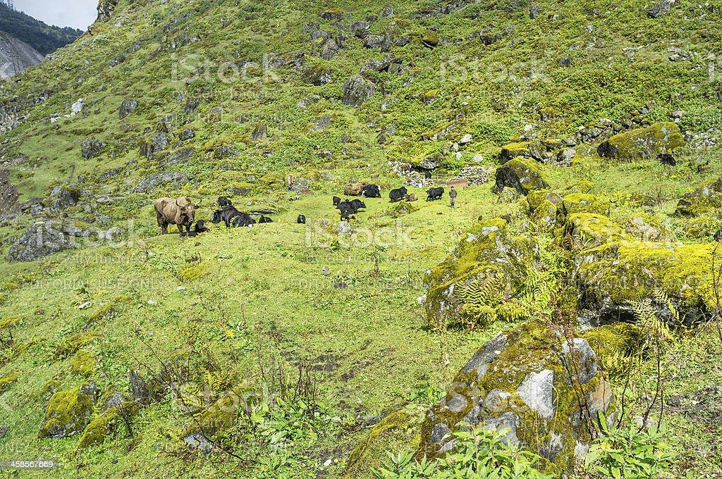 Brokpa nomads and Yak herd, western Arunachal Pradesh, India. stock photo