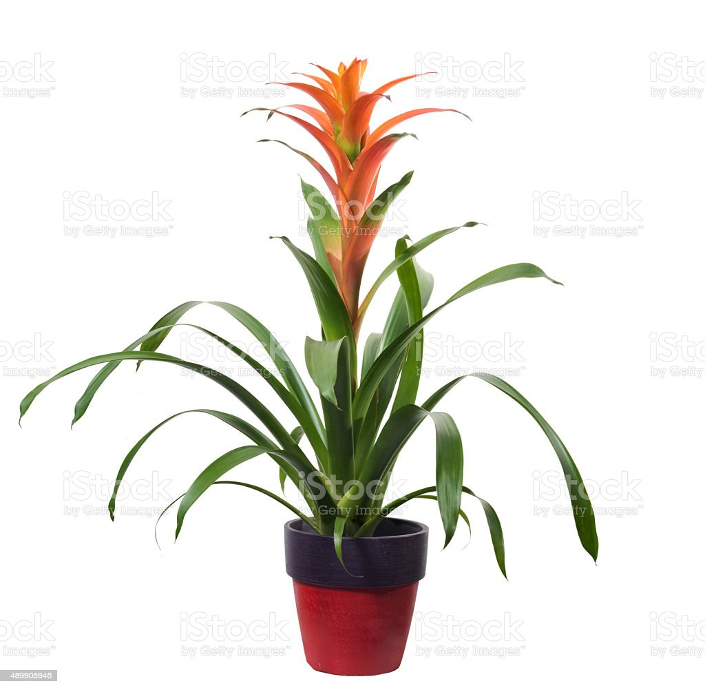 Bromelia guzmania isolated stock photo