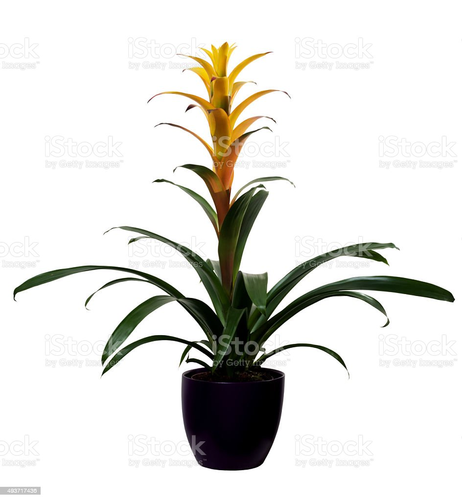 Bromelia guzmania yellow isolated stock photo