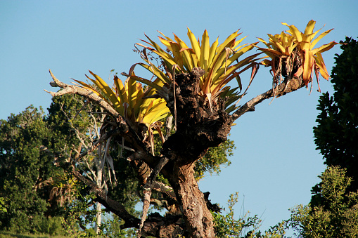 conde, bahia / brazil - september 15, 2012: bromelia is seen in the countryside of the city of Conde.