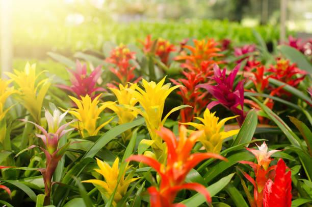 Bromeliad flower blooming in the garden stock photo