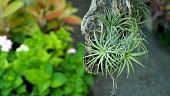 Bromeliad Hanging