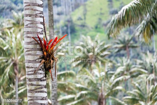 Bromeliad plant growing on the trunk of a wax palm near Salento, Colombia