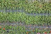 Bromeliad (Aechmea fasciata)
