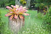 Bromeliad Scientific name Aechmea fasciata