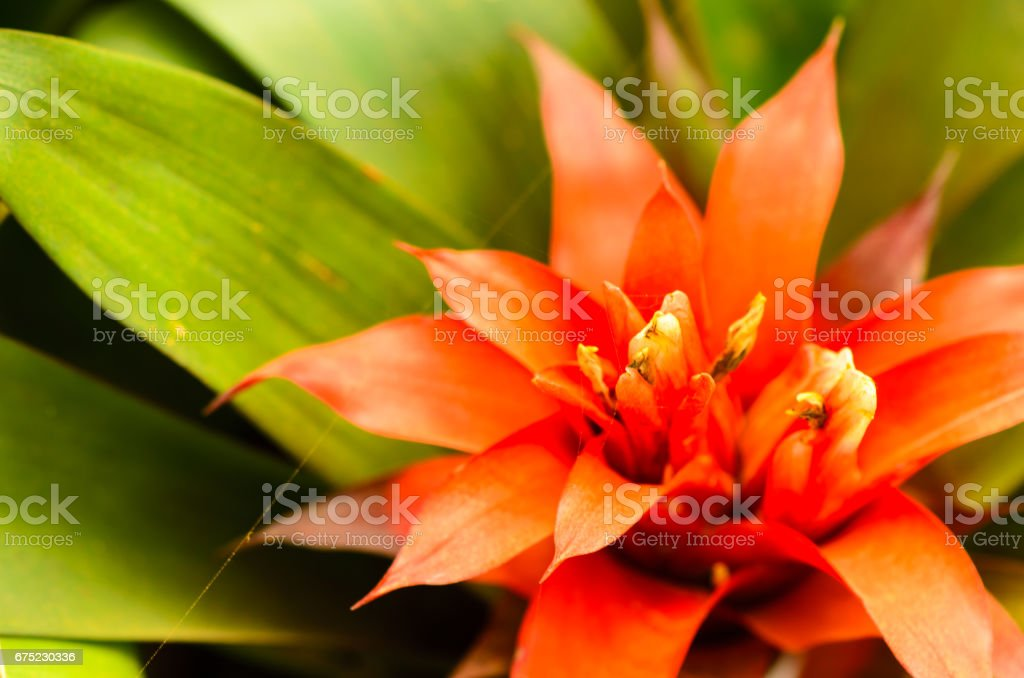 Bromeliads Flower royalty-free stock photo