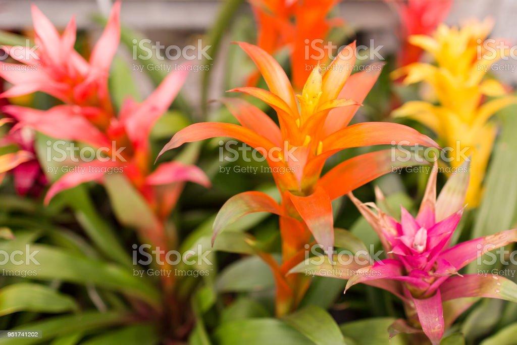 Bromeliads Plants stock photo