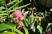 Bromélia Aechmea no jardim