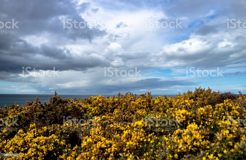 Bromm flowers close-up with the irish sea in background stock photo