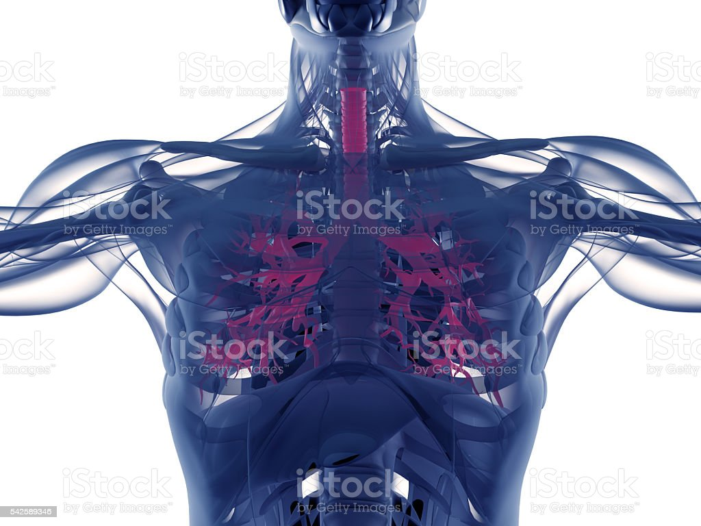 Bronchi, human anatomy lungs, futuristic scan technology.3d illustration. – Foto