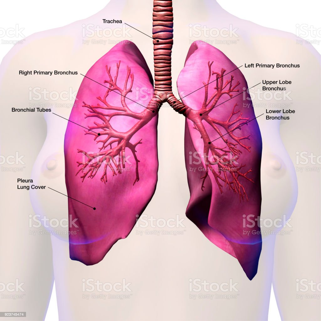 Bronchus And Lungs Labeled Stock Photo