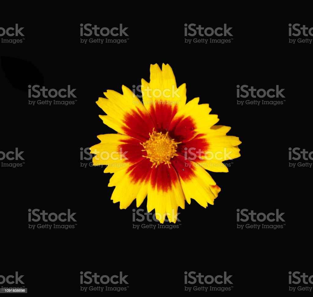 Bronze and yellow Coreopsis flower on black background stock photo