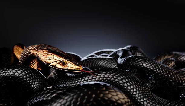 Bronze or Golden Snake among Black Snakes stock photo