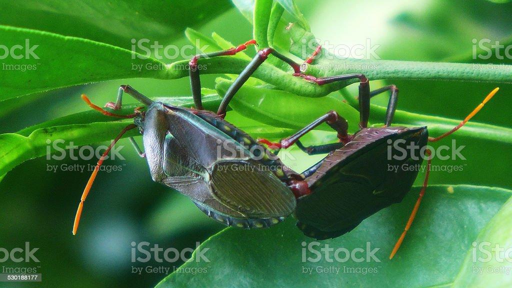 Bronze Orange Bug - Musgraveia Sulciventris stock photo