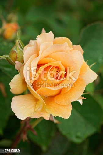 Dewy Bronze Star rose growing in the garden