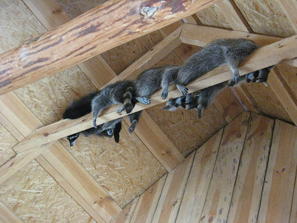 brood of grey raccoons are hanging up in the zoo - Photo