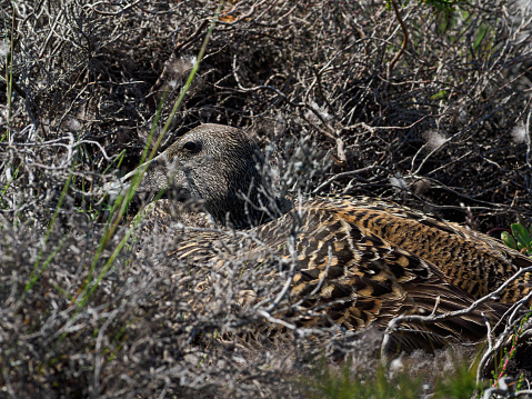 Brooding eider in the nest