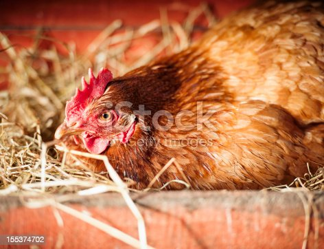 A free range, organically raised hen on hay in a wooden nesting box as she concentrates on laying an egg.