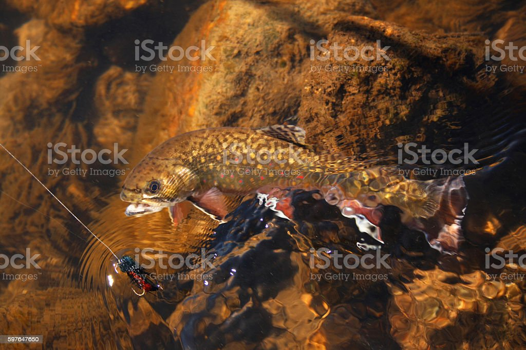 Brook Trout 430 stock photo