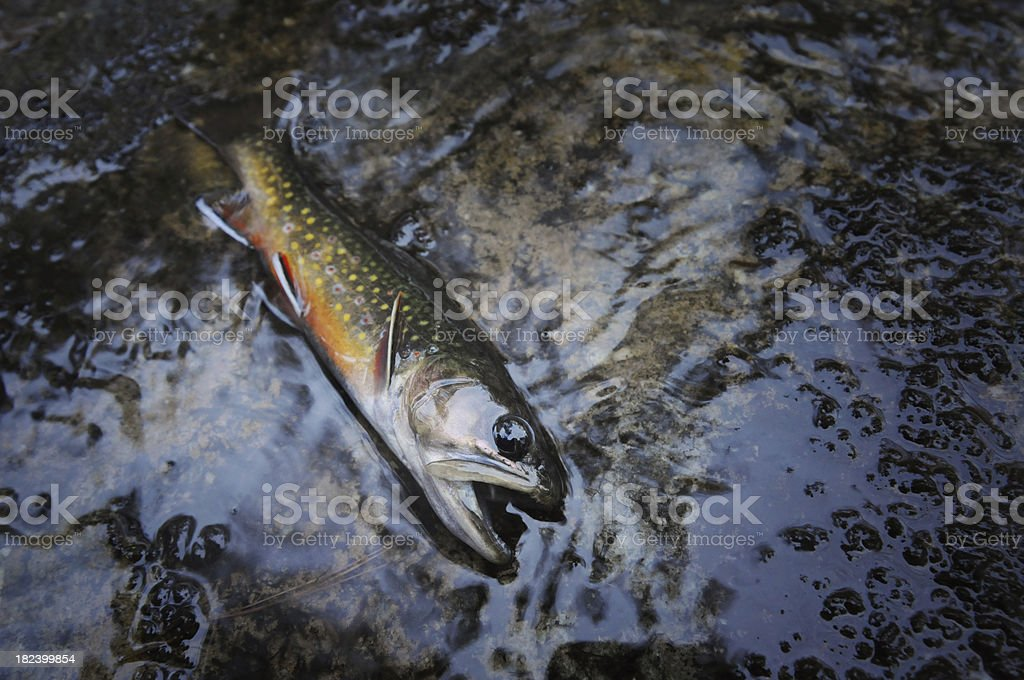 Brook trout in stream royalty-free stock photo