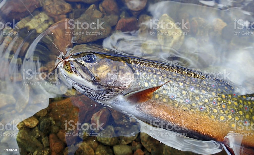 Brook Trout - North Aspy River, Cape Breton stock photo