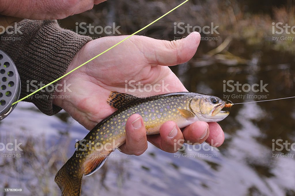 Brook Trout On the Fly royalty-free stock photo