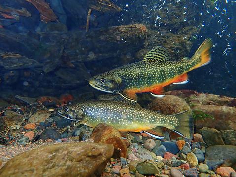 Trout gather to spawn in Swan Creek near Big Sky, Montana