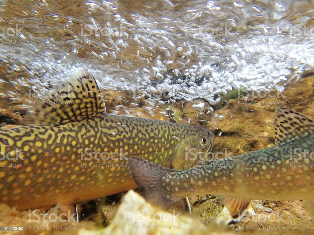 Brook Trout stock photo