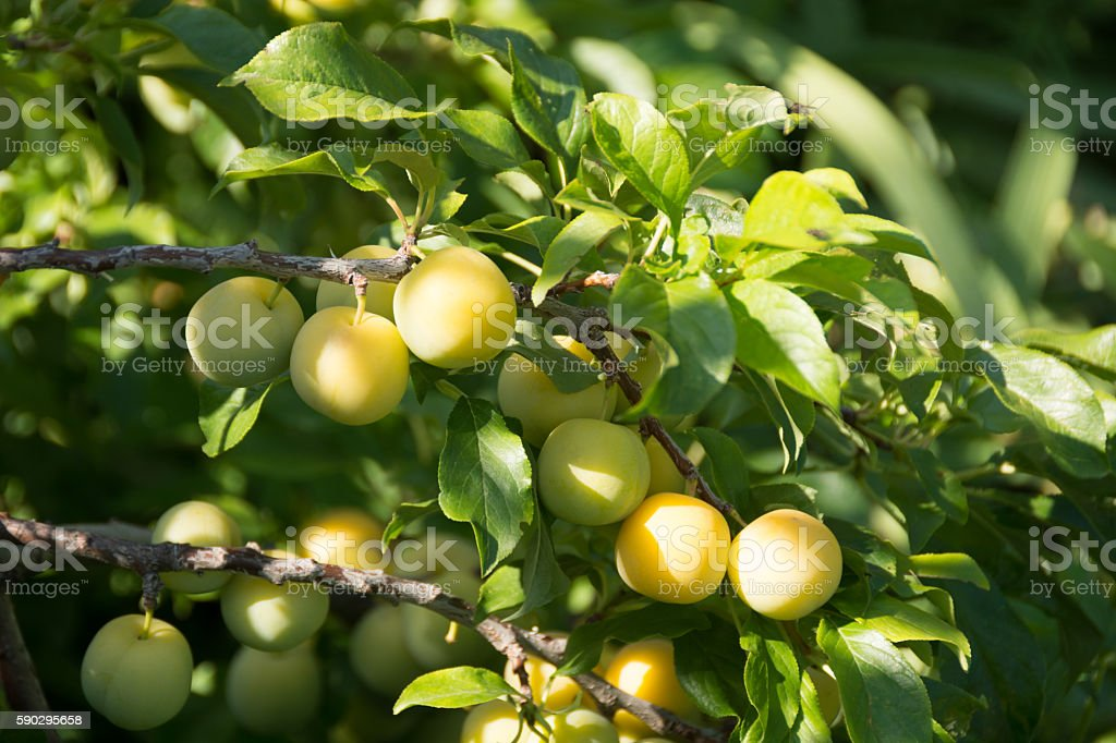 Brooks gold plums on branch, some ripe, some still gree. royaltyfri bildbanksbilder