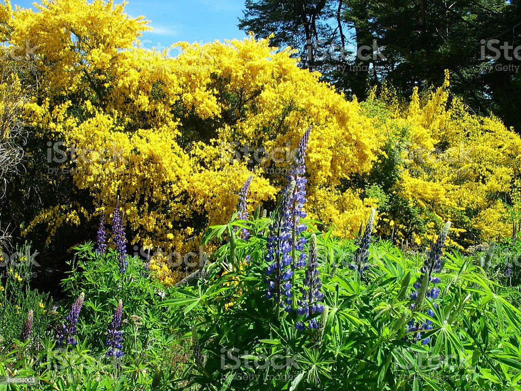 Broom and Lupines stock photo