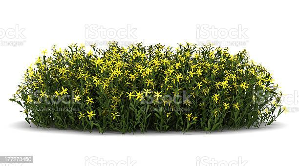 Broom flowers isolated on white background picture id177273450?b=1&k=6&m=177273450&s=612x612&h=e5t63j1swhpn7garx3vn0rojwrm8eq4drqdtxx6cqke=