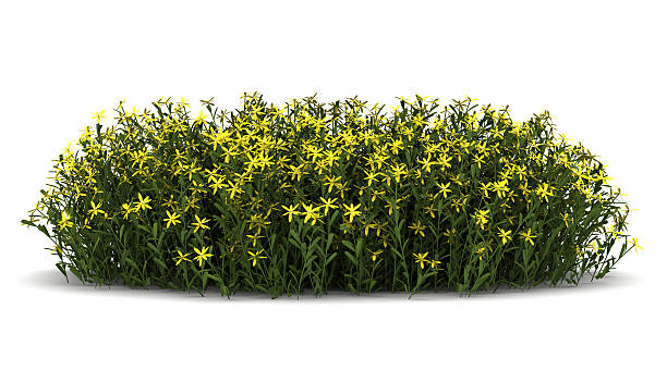 Broom flowers isolated on white background picture id177273450?b=1&k=6&m=177273450&s=612x612&w=0&h=wsijpjooarp0bydjy5oaccifqyvr3iwriji29j5oyzm=