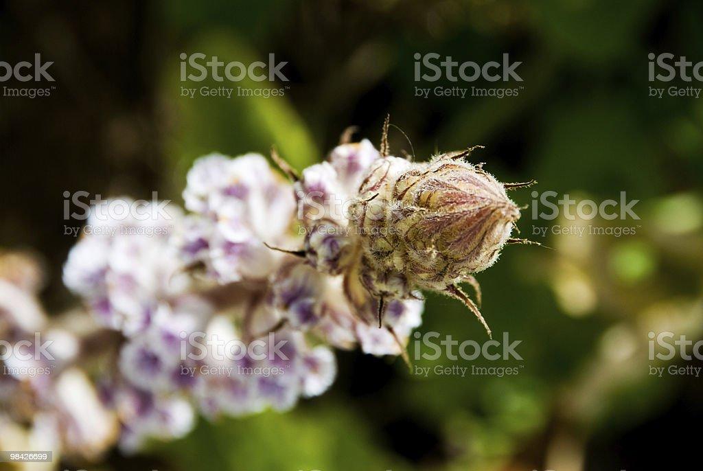 Broomrape (orobanchaceae) royalty-free stock photo