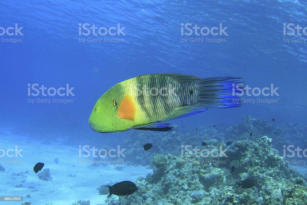 Labre Broomtail - Photo de Au fond de l'océan libre de droits