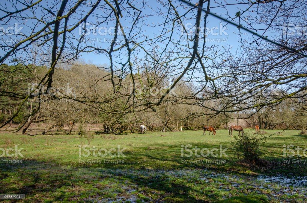 Broomy Inclosure Ponies stock photo