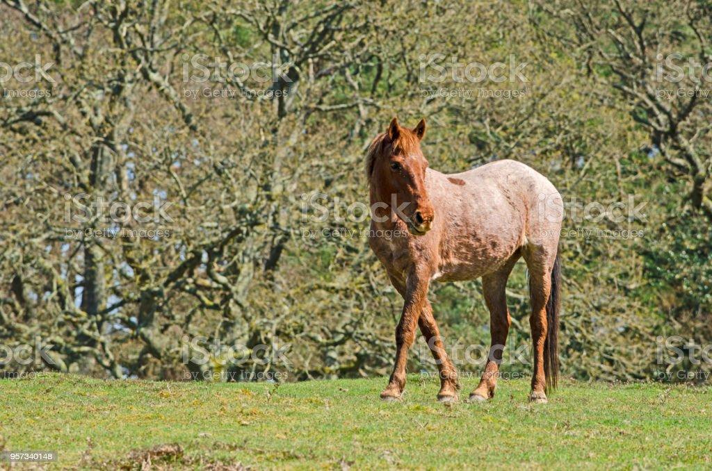 Broomy Pony stock photo