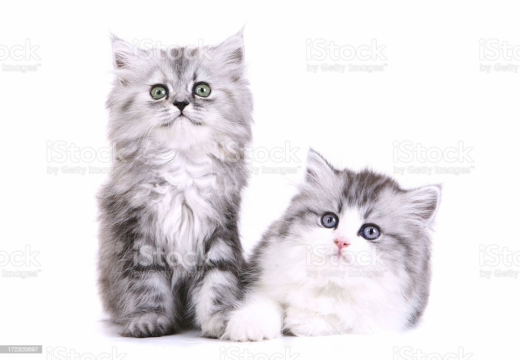 Brother and Sister Persian Kittens stock photo